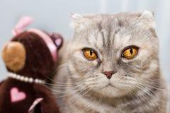 Retrato de un gato de gato atigrado pensativo con un oso del juguete en un arco y gotas imagen de archivo libre de regalías