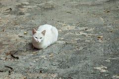 Retrato de un gato bastante blanco que descansa en el piso Fotos de archivo