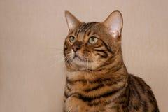 Retrato de un gato de Bengala con los ojos verdes grandes Imágenes de archivo libres de regalías