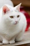 Retrato de un gato blanco Imagenes de archivo