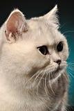 Retrato de un gato blanco Imagen de archivo libre de regalías
