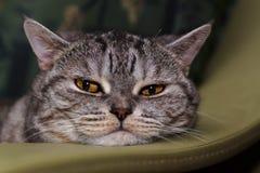 Retrato de un gato británico Imagenes de archivo