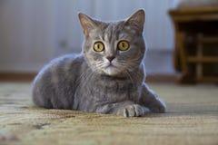 Retrato de un gato británico que miente en el piso Foto de archivo