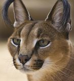 Retrato de un gato caracal Imagen de archivo libre de regalías