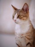 Retrato de un gato con los ojos amarillos Fotografía de archivo