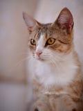 Retrato de un gato con los ojos amarillos Imagen de archivo libre de regalías