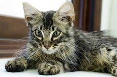 Retrato de un gato de gato atigrado del bebé que miente en el piso interior Imagen de archivo libre de regalías