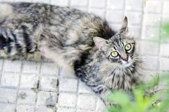 Retrato de un gato de gato atigrado sorprendido que miente en el piso al aire libre Fotografía de archivo