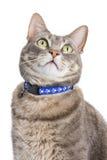 Retrato de un gato de tabby Imagenes de archivo