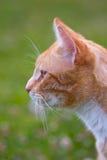 Retrato de un gato del jengibre Fotos de archivo libres de regalías