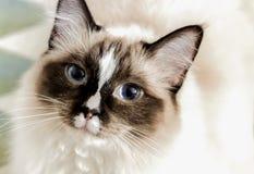 Retrato de un gato del ragdoll imagenes de archivo