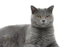 Retrato de un gato en un fondo blanco Fotos de archivo libres de regalías