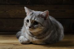 Retrato de un gato escocés Fotos de archivo