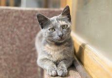 Retrato de un gato gris Fotos de archivo libres de regalías