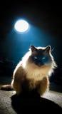 Retrato de un gato maravilloso del birman Imagenes de archivo