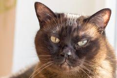 Retrato de un gato masculino grande Imágenes de archivo libres de regalías