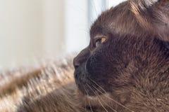 Retrato de un gato masculino grande Imagen de archivo libre de regalías
