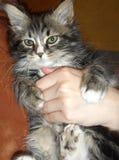 retrato de un gato mullido lindo adorable fotos de archivo libres de regalías