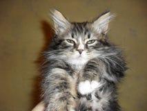 retrato de un gato mullido lindo adorable imágenes de archivo libres de regalías