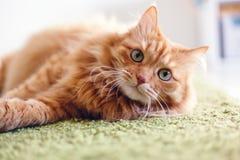 Retrato de un gato mullido rojo hermoso divertido con los ojos verdes adentro fotos de archivo libres de regalías