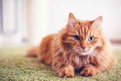 Retrato de un gato mullido rojo hermoso divertido con los ojos verdes adentro foto de archivo libre de regalías