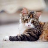 Retrato de un gato multicolor con los ojos amarillos imagen de archivo libre de regalías