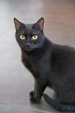 Retrato de un gato negro Foto de archivo