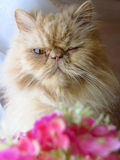 Retrato de un gato persa foto de archivo