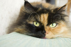 Retrato de un gato persa soñador que miente en el sofá Imágenes de archivo libres de regalías