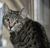 Retrato de un gato rayado Fotos de archivo libres de regalías