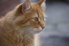 Retrato de un gato rojo fotos de archivo libres de regalías