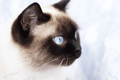 Retrato de un gato siamés Fotografía de archivo