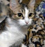 Retrato de un gato tres-coloreado encantador con los ojos amarillos imágenes de archivo libres de regalías