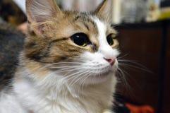 Retrato de un gato tres-coloreado encantador con los ojos amarillos fotografía de archivo
