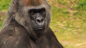 Retrato de un gorila del varón adulto almacen de video