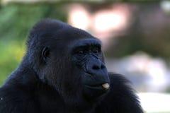 Retrato de un gorila de montaña negro fotografía de archivo