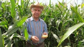Retrato de un granjero mayor In un vaquero Hat In un campo de maíz que sostiene la mazorca de maíz almacen de metraje de vídeo
