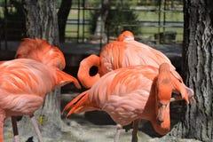 Retrato de un grupo del flamenco en el parque zoológico de Puebla imágenes de archivo libres de regalías