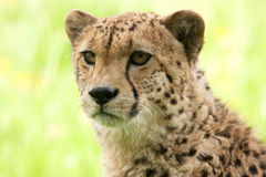 Retrato de un guepardo joven Foto de archivo libre de regalías