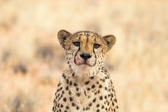Retrato de un guepardo triste Foto de archivo