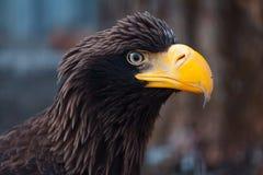 Retrato de un águila negra Imágenes de archivo libres de regalías