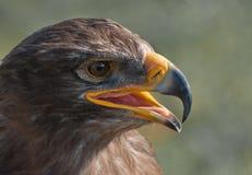 Retrato de un halcón común con el pico abierto Fotografía de archivo