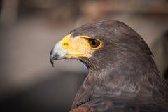 Retrato de un halcón de harris Fotografía de archivo libre de regalías