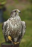 Retrato de un halcón de peregrino Imagen de archivo
