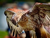 Retrato de un halcón ferruginoso Fotografía de archivo libre de regalías