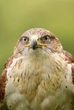 Retrato de un halcón ferruginoso (Butea Regalis) Imágenes de archivo libres de regalías