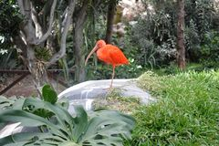 Retrato de un Ibis en el parque zoológico de Puebla2 imágenes de archivo libres de regalías