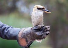 Retrato de un kookaburra de risa, novaeguineae del dacelo, con el pico grande sentándose en el guante del instructor kookaburra A fotos de archivo