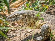 Retrato de un lagarto de monitor colorido grande imágenes de archivo libres de regalías
