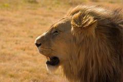 Retrato de un león Imagen de archivo libre de regalías